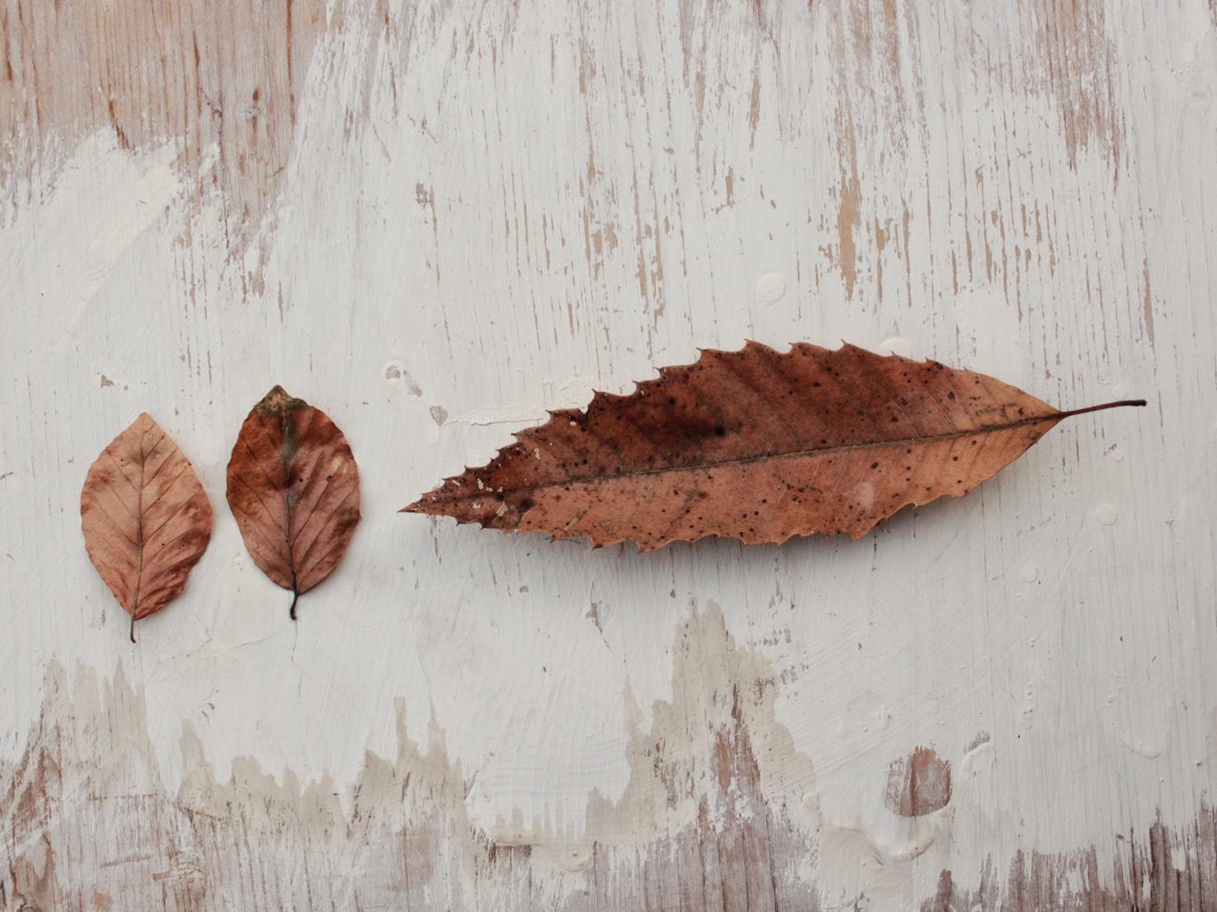 foglie di faggio e castagno